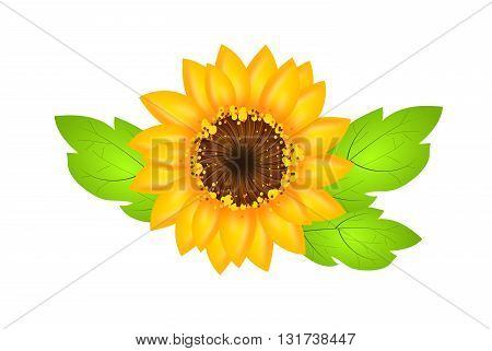 Illustration of sunflower bloom with leaves on white background