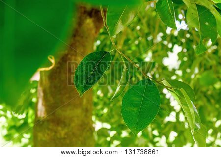 Abstract background with green leaves of Ficus benjamina on the tree. Selective Focus.