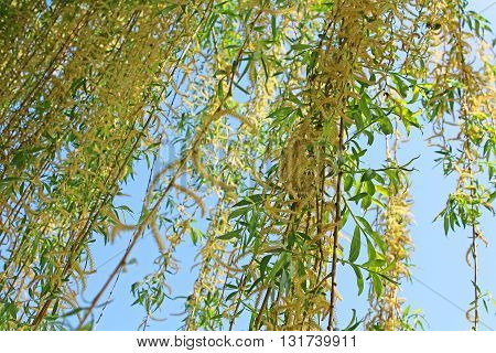 Beautiful young green willow tree leaves in early spring