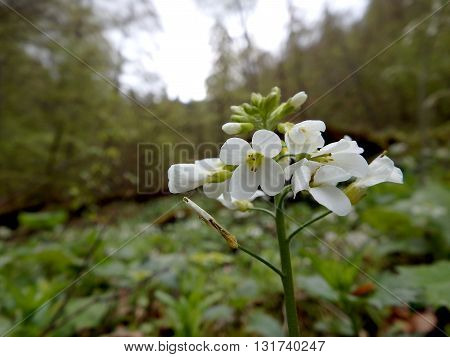 Cardamine bulbifera (Dentaria bulbifera)with close up of pale pink flower