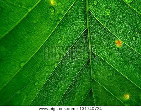 Beech leaves green background , green background ,