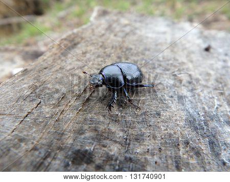 scarab (Geotrupes stercorarius) , beetle bug ,