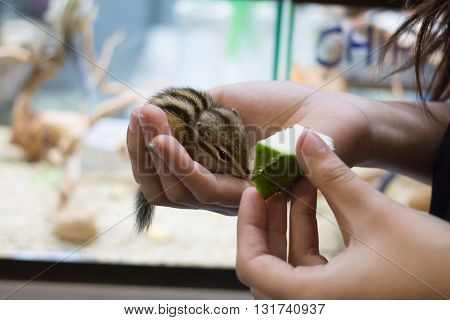 feeding fruit to cute chipmunk in hand