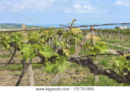 Spring Vineyard with early blossoming leaves in the daytime.
