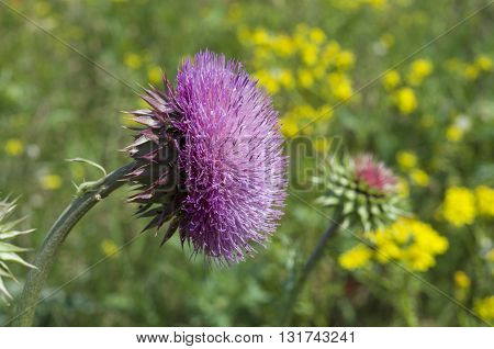 Flower burdock against the background of a green field with yellow flowers