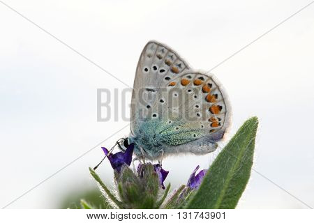 A thyme Large Blues on a flower.