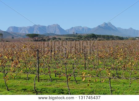 Grape Farm, With Mountains In Back Ground, Stellenbosch Cape Town South Africa 12