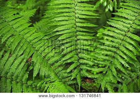 ferns typical deep forests and very humid areas