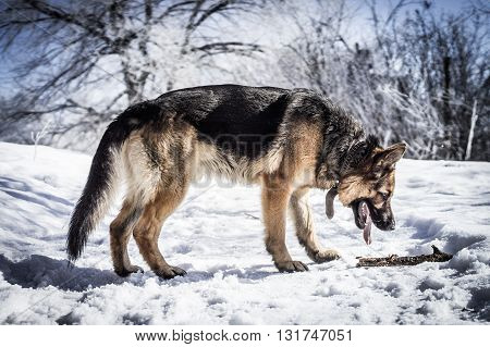 German shepherd in winter cold  found a stick