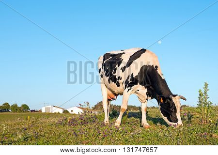 Young cow grazing on a meadow in Portugal