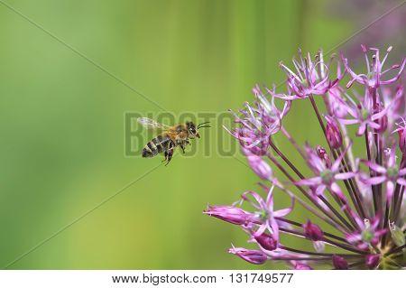 small striped bee flies round purple flower
