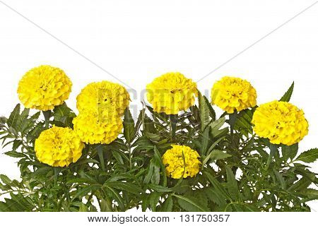 Many yellow flowers of marigolds (Tagetes species) and green leaves isolated against a white background
