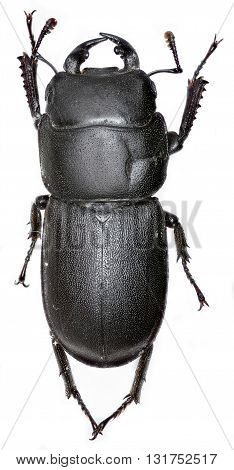 Lesser Stag Beetle on whute Background  -  Dorcus parallelipipedus (Linnaeus, 1758)