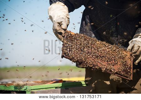 horizontal front view of a beekeeper in a protection suit checking the honey combs with bees swarming around