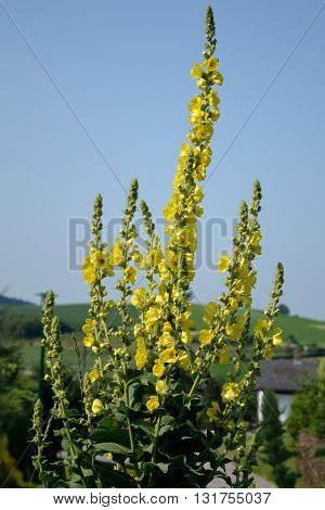 bright yellow flowering mullein - medicinal plant