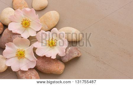 three pink flower wild rose on pebbles on a gray background with space for posting information. Spa stones treatment scene zen like concepts. Flat lay top view