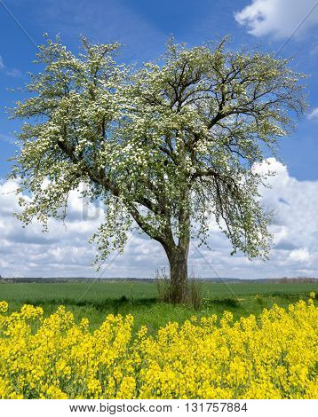 Blooming pear tree stands behind yellow rapeseed on a meadow in wide, rural landscape