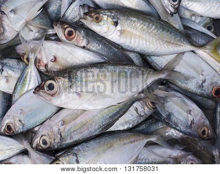 Fresh Indian mackerel in the market, Thailand.