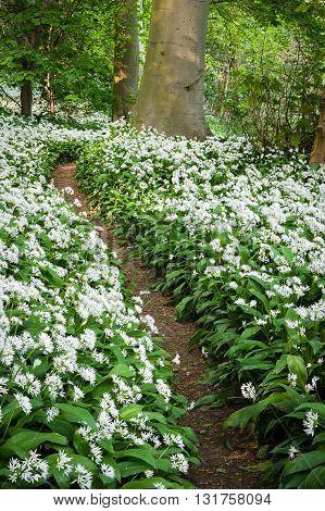 Very scented pathe through wild garlic - Allium ursinum
