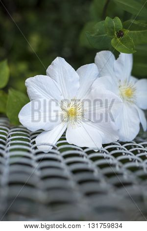 Beautiful white clematis close-up outdoors. Clematis cultivar 'marmoraria'