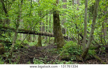 Rich springtime alder-bog stand of Bialowieza Forest, Poland, Europe
