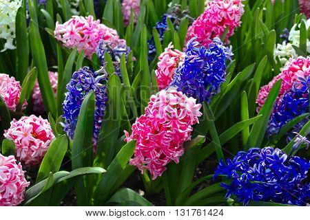 Pink and Purple Hyacinth Bloom in Spring
