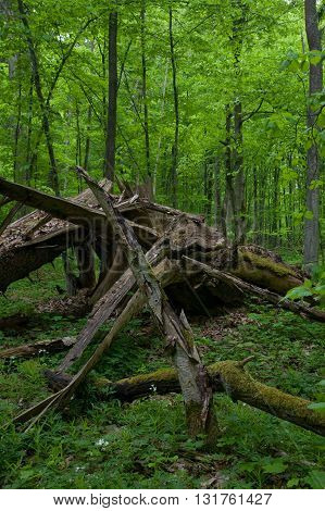 Deciduous stand in springtime with dead broken spruce in foreground, Bialowieza Forest, Poland, Europe