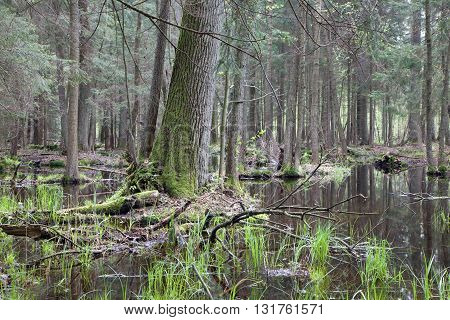 Old oak tree in swamp area in springtime, Bialowieza Forest, Poland, Europe
