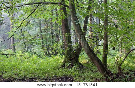 Natural riparian stand in autumn morning mist Bialowieza Forest Poland Europe