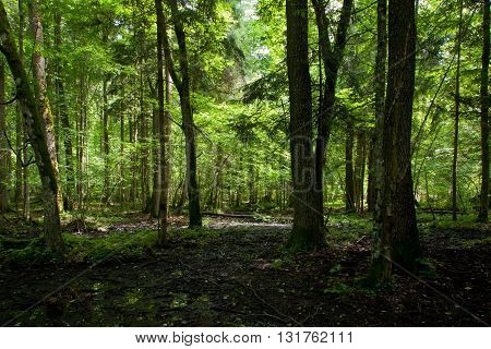 Wet deciduous stand of Bialowieza Forest with water and lush foliage, Bialowieza Forest, Poland, Europe