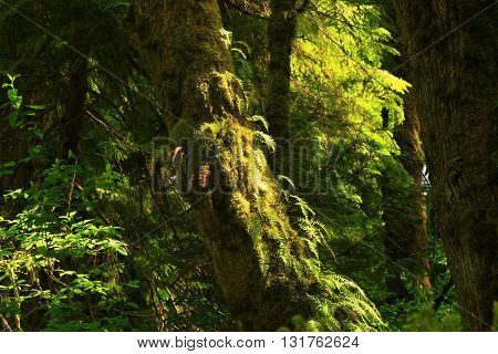 a picture of an exterior Pacific Northwest forest maple tree with ferns
