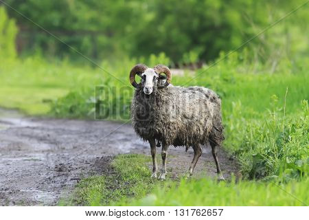 dirty funny sheep with matted hair standing on the road
