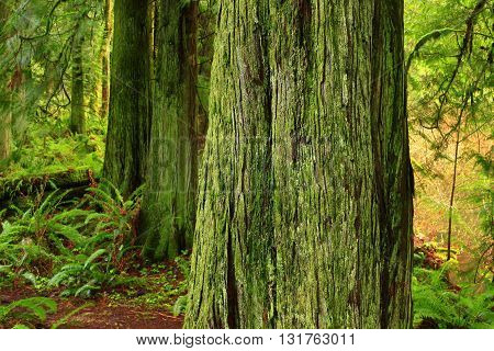 a picture of an exterior Pacific Northwest forest of mossy  Western red cedar trees