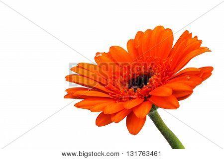 Orange Gerbera Daisy Against A White Bckground