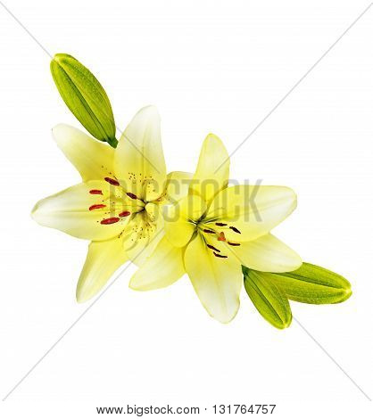 Flower lily isolated on white background. Delicate flower