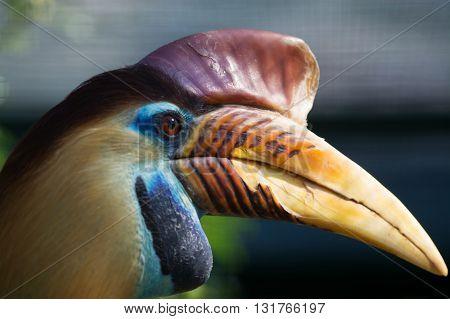 Knobbed Hornbill (aceros Cassidix)