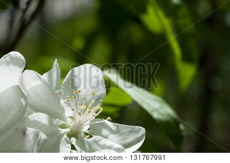 Spring flowering wild cherry in the garden in springtime. Beautiful fruit tree blossom