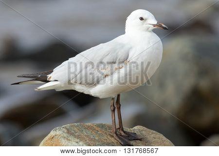 Silver gull (Chroicocephalus novaehollandiae) perched on a rock.