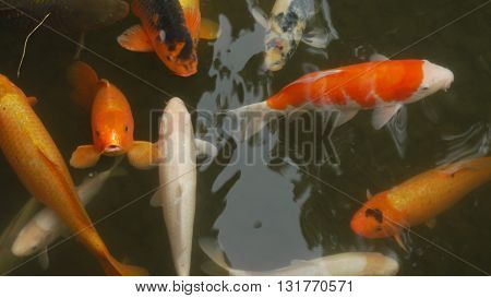 Japanese koi fish looking at the camera with other koi in a well on Japan