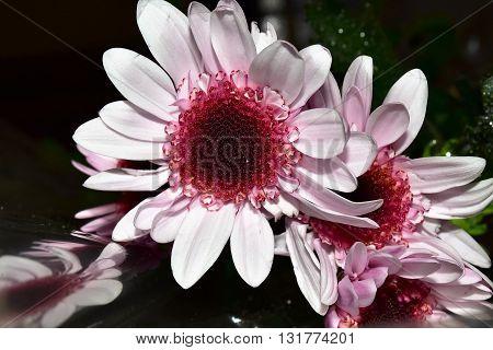 Pink peddles on a flower. Clos up shot.