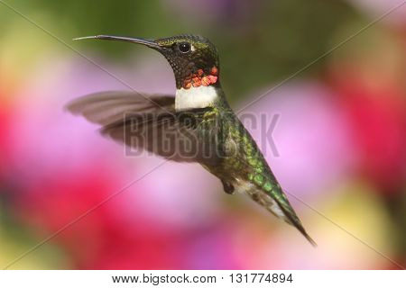 Male Ruby-throated Hummingbird (archilochus colubris) in flight with a colorful background