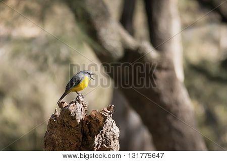 Australian Eastern Yellow Robin, Eopsaltria australis, in Sheoak forest