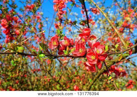 flowers of Malus floribunda on a twig