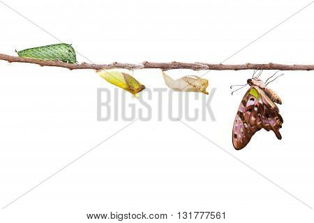Isolated tailed jay butterfly with chrysalis and caterpillar on twig with clipping path