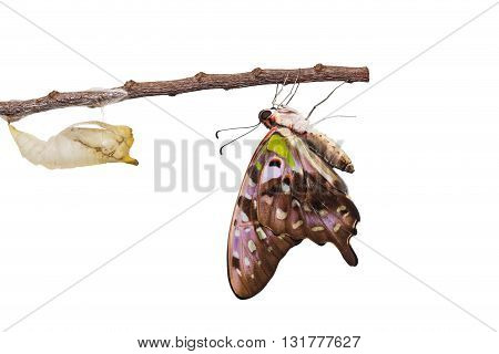 Isolated Tailed Jay Butterfly With Chrysalis And Mature On White