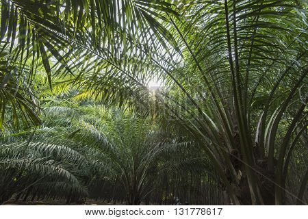 Palm Oil Plantation With Sunlight Streaking Through Leaves Asia