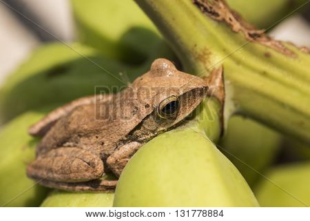 Tree Frog On Wild Banana Plant In Asia