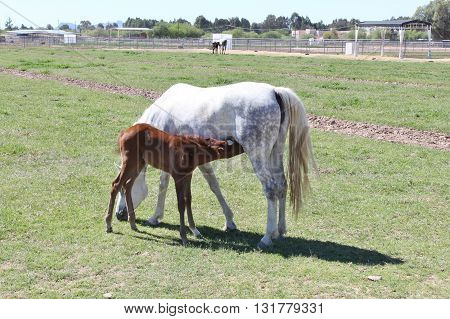 Grazing Mare in the field with Nursing Foal