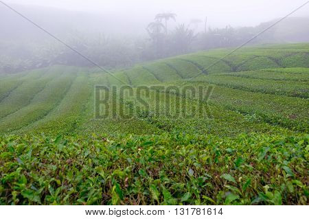 Tea plantations with fog nearby Cameron Highlands Malaysia.