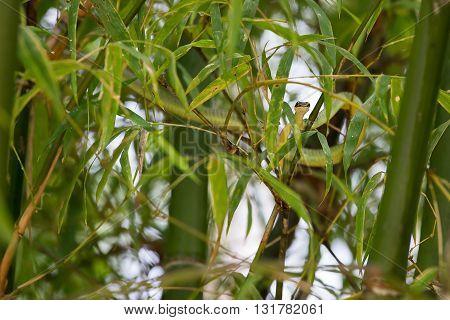 Green snake creeps in bamboo. Island Koh Phangan Thailand